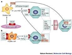 Activación células estrelladas. Nature Reviews